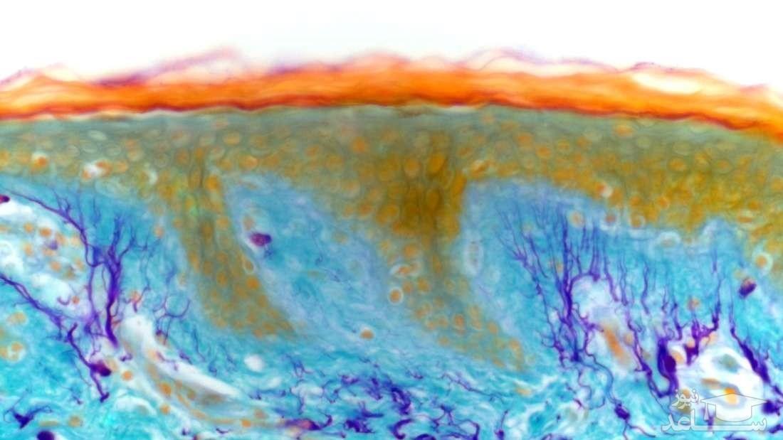 اندام تازه ای در بدن انسان کشف شد !