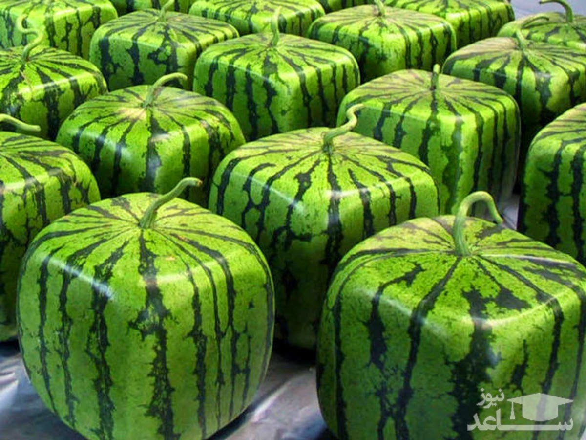 (فیلم) کاشت هندوانههای مربع در ژاپن