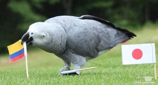 تصویری از طوطی پیشگو در حال پیشگویی بازی ژاپن و کلمبیا