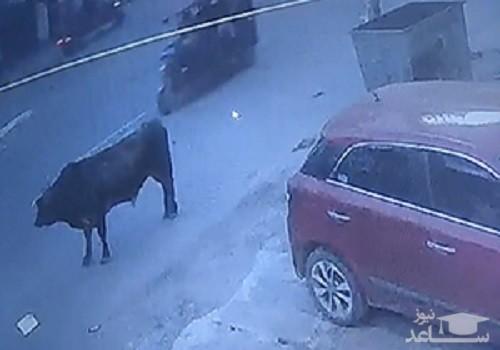 (فیلم) عاقبت زندگی مشترک با گاوها در هند