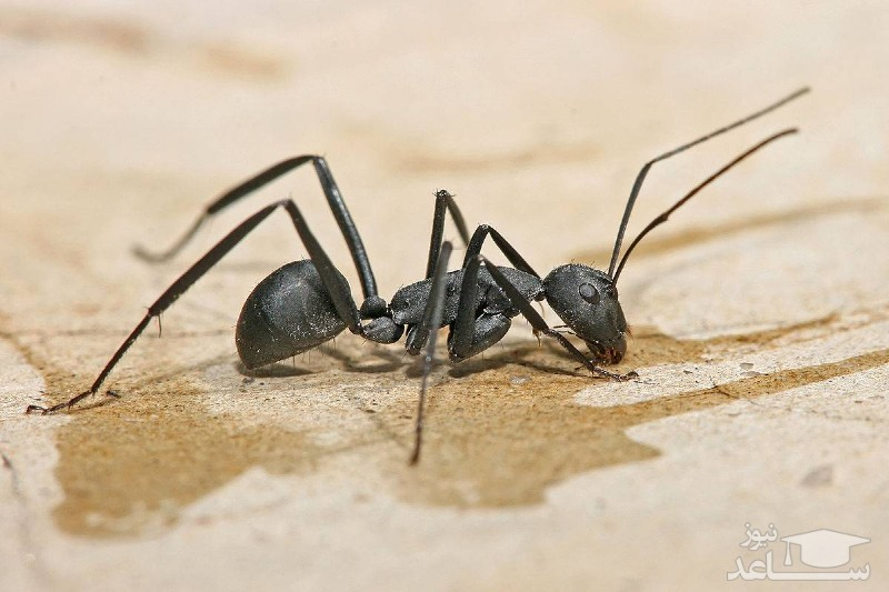 آیا روغن مورچه واقعا به عنوان موبر عمل میکند؟