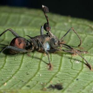 مورچه هایی که  به مردگان متحرک یا زامبی تبدیل میشوند!