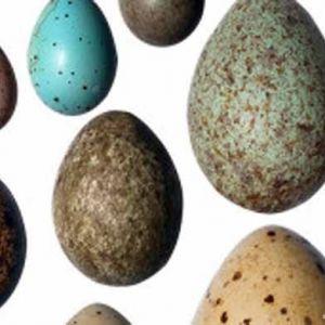 چرا تخم پرندگان بیضی شکل هستند؟