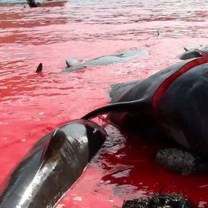 (فیلم) سنت وحشیانه قتل عام دلفین ها توسط دانمارکی ها