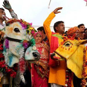 تصاویری از مراسم عروسی  گاو نر و ماده در هند !