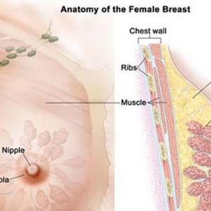 آشنایی با آناتومی پستان و سینه زنان !