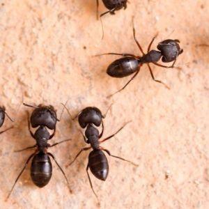 (فیلم) پل معلقی که توسط مورچه ها ساخته شده