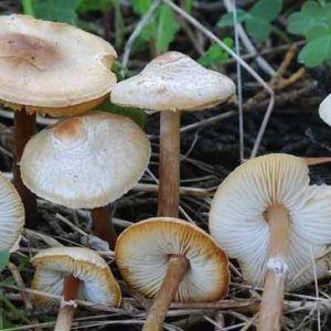 تصویر قارچ های سمی را به خاطر بسپارید!