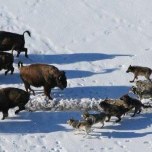 (فیلم) حمله دسته جمعی گرگ ها به گله گاوهای وحشی
