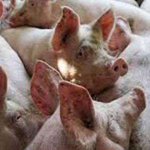 (فیلم) چرا گوشت خوک حرام است؟