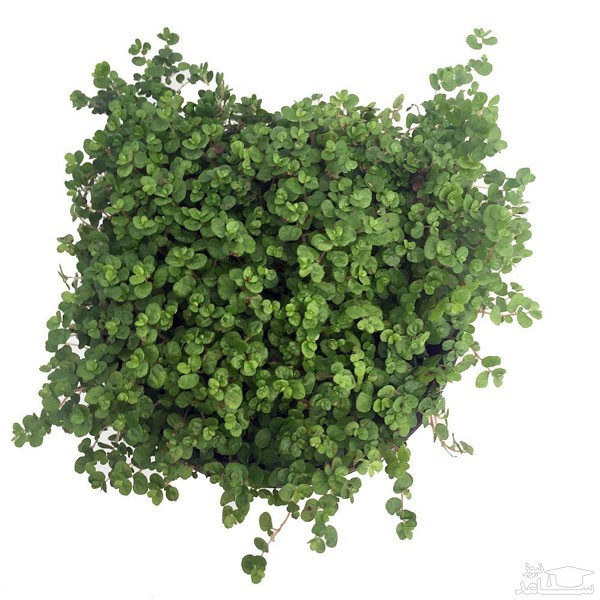 گیاه چمن عروس (نگهداری + پرورش)