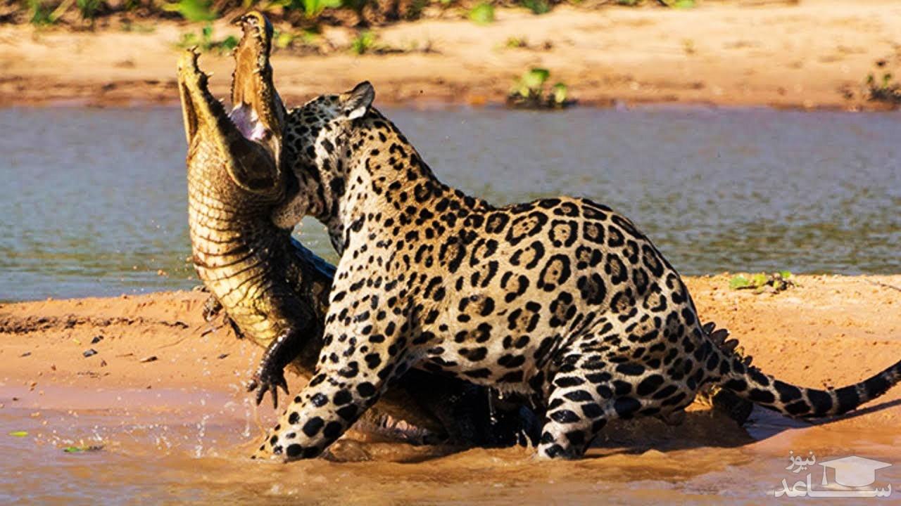 (فیلم) شکار یک تمساح در لب رود آمازون توسط جگوار