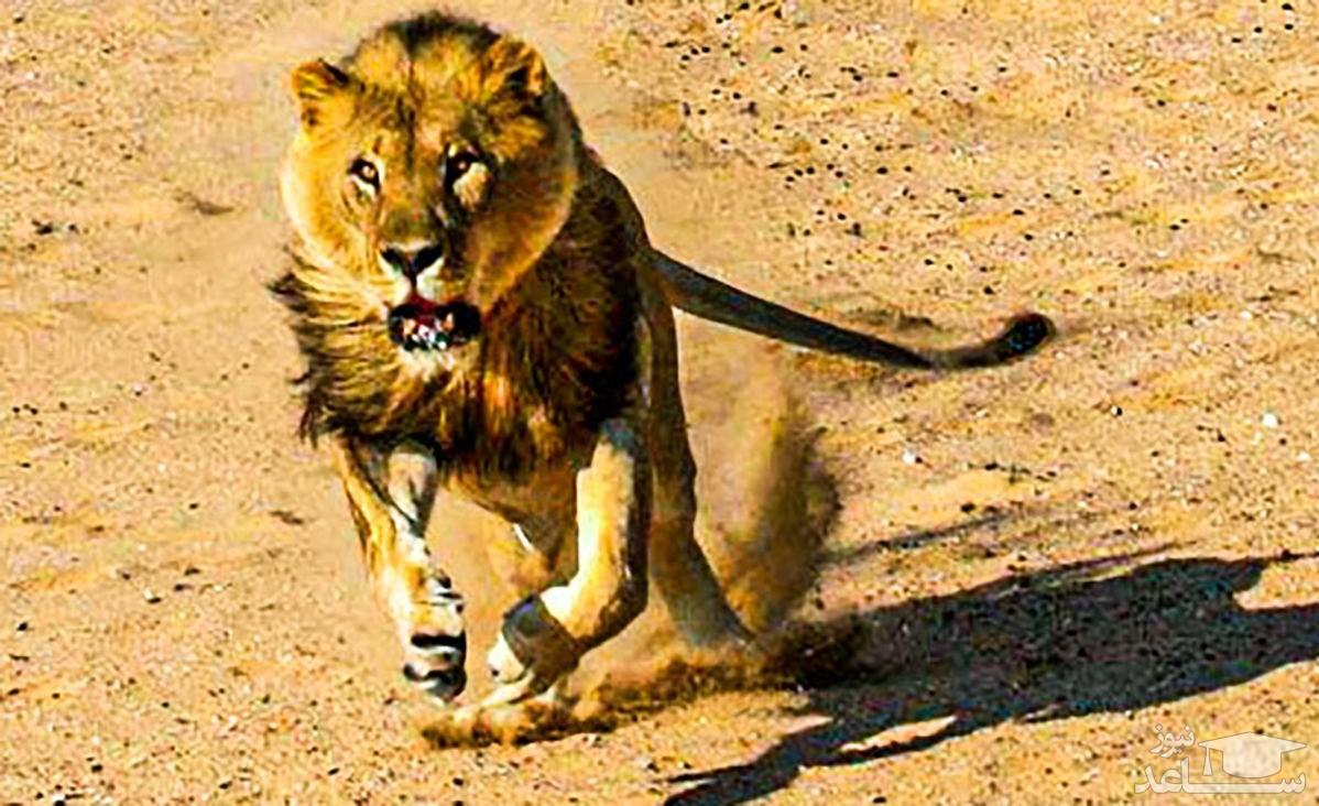 (فیلم) مرگ دلخراش شیر حین شکار بوفالو
