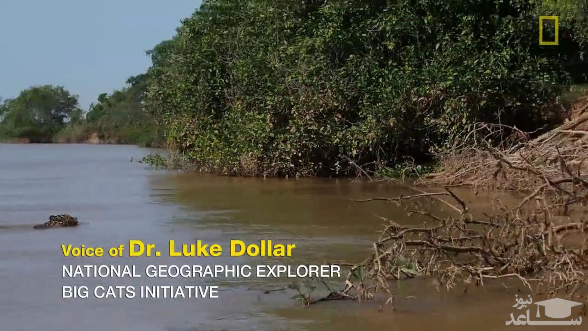 (فیلم) حمله باورنکردنی و وحشتناک جگوار به تمساح