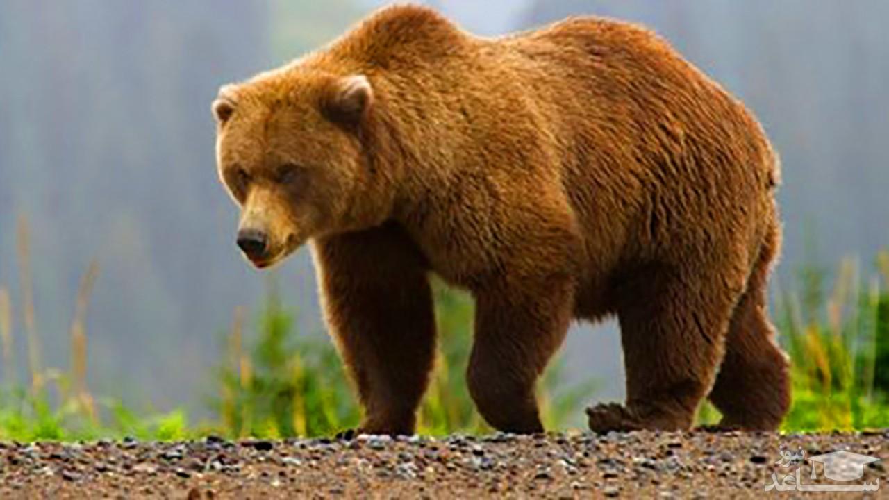شکار خرس درحال انقراض در ارومیه + فیلم فجیع
