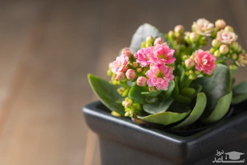 گل کالانکوآ (نگهداری + پرورش)