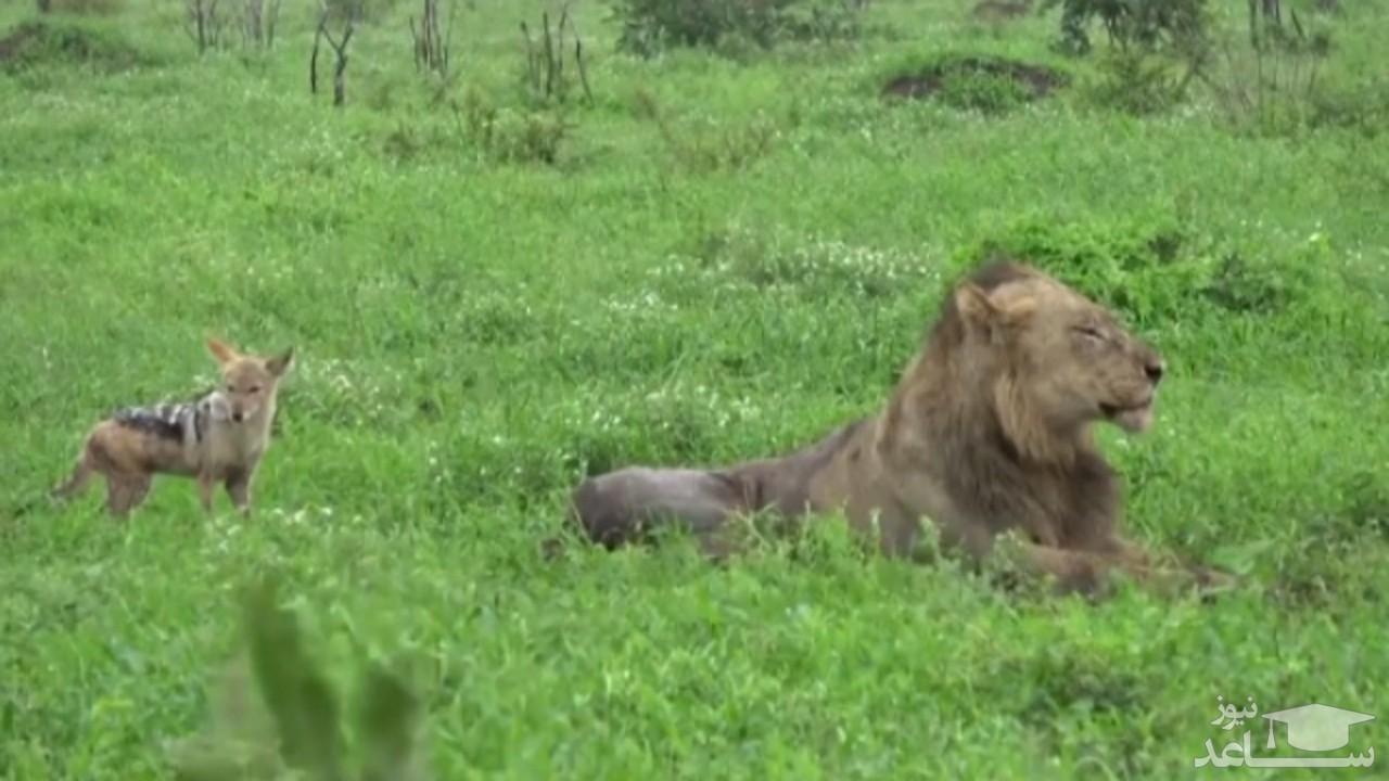 (فیلم) وقتی سلطان جنگل خوراک شغالها میشود