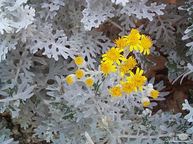 گل ابری نقره ای (نگهداری + پرورش)