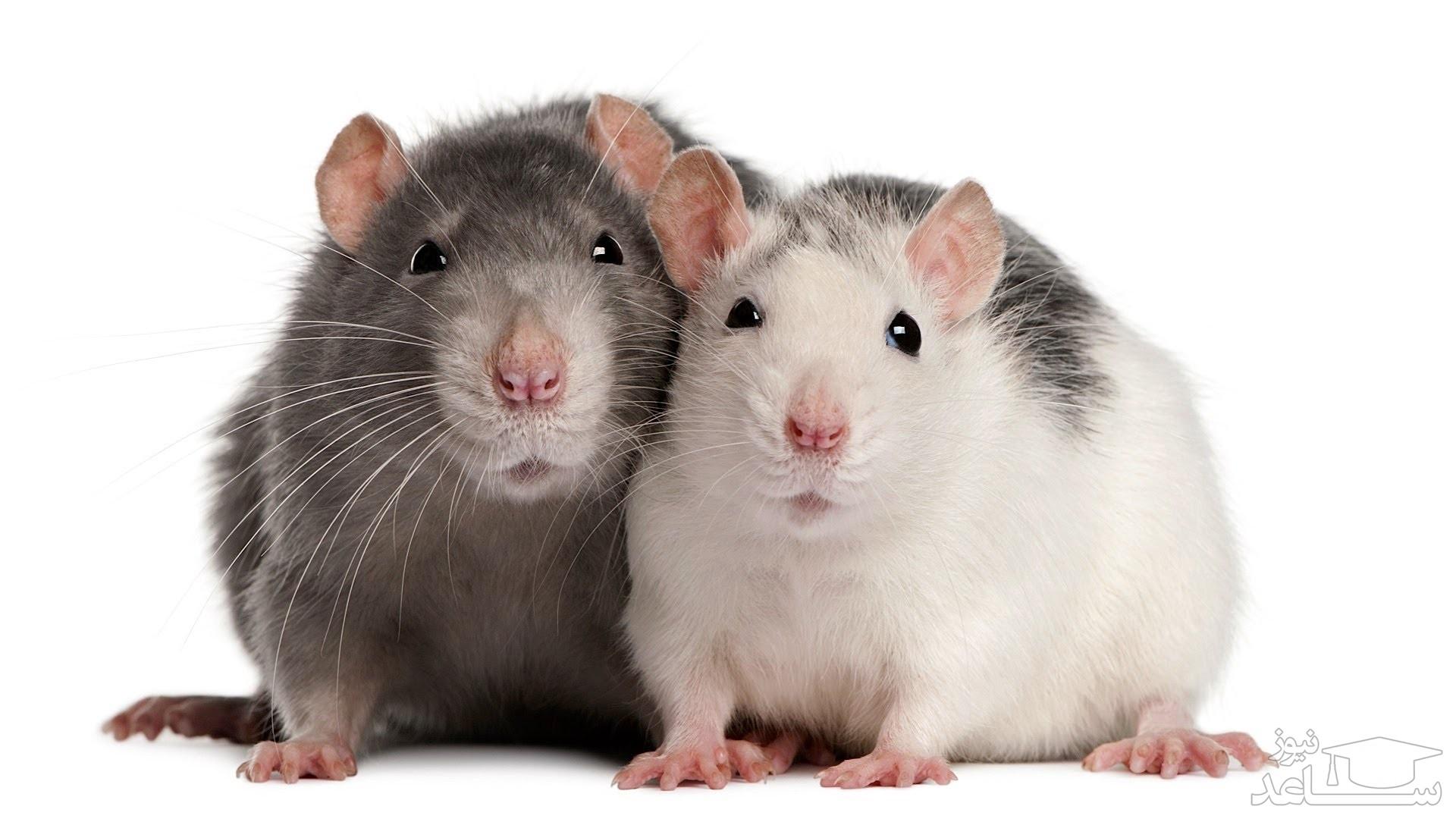 دیدن موش در خواب چه تعبیری دارد؟ / تعبیر خواب موش