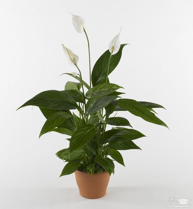 گل اسپاتی فیلوم (نگهداری + پرورش)