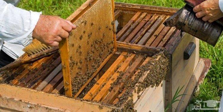 تاثیر نیش زنبور عسل بر درمان کرونا تایید نشده است