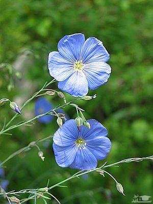 گل کتانی (نگهداری + پرورش)