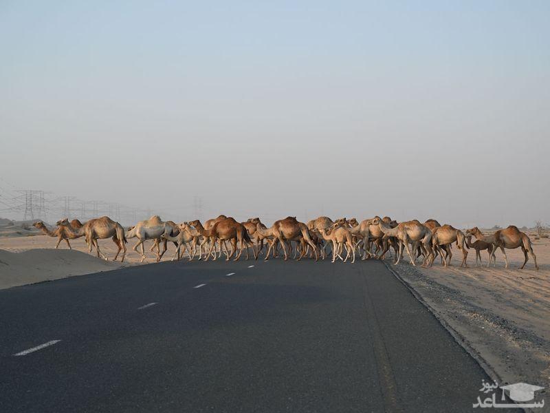 عبور گله شتر از جاده ای در نزدیکی شهر دوبی