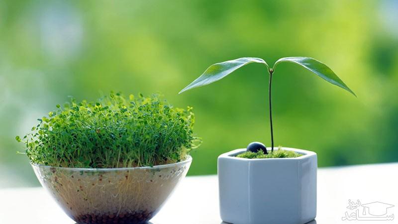 آموزش کاشت سبزه عید با بذرهای مختلف