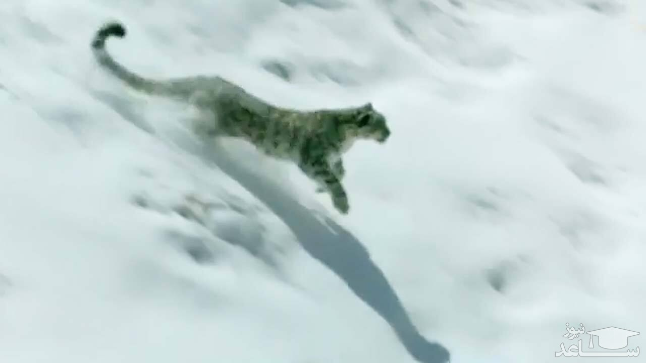 (فیلم) پلنگ برفی به دنبال شکار در برف