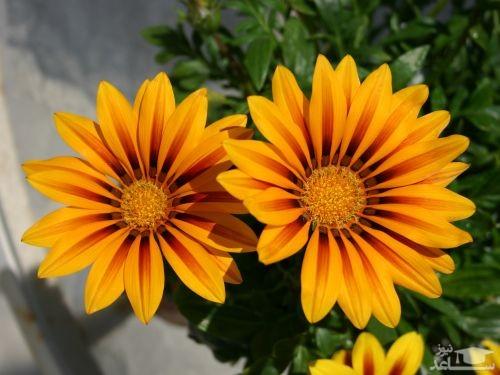گل گازانیا (نگهداری + پرورش)