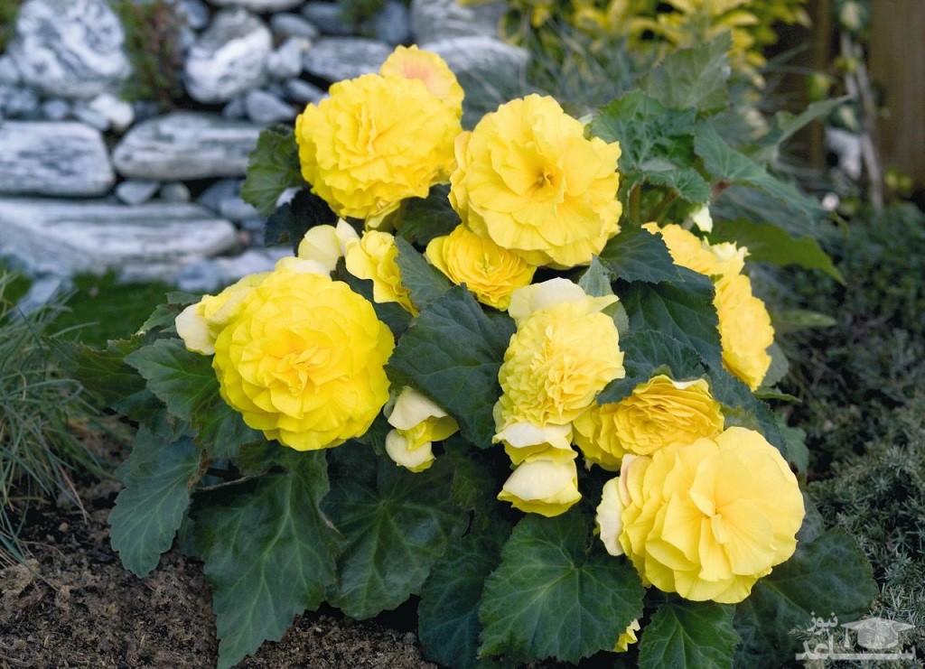 گل بگونیا غده ای (نگهداری + پرورش)