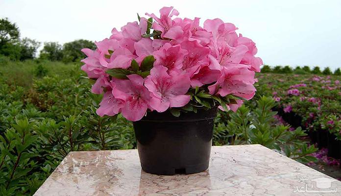 شرایط نگهداری از گل آزالیا یا خرزهره هندی