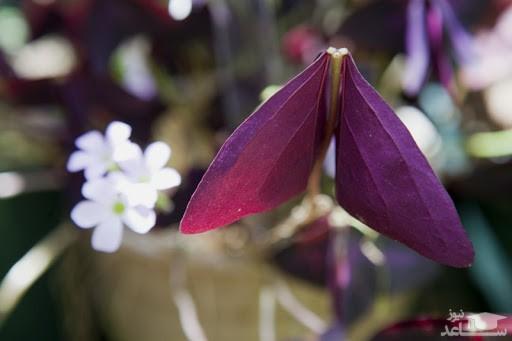 گل گزالیس (نگهداری + پرورش)