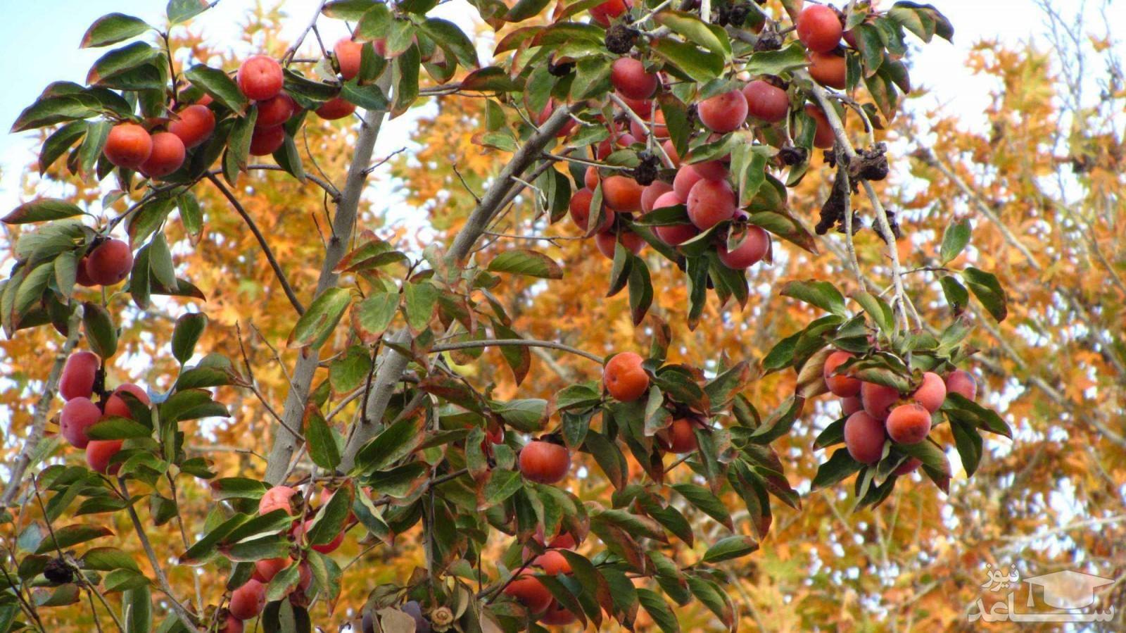 درخت خرمالو (نگهداری + پرورش)