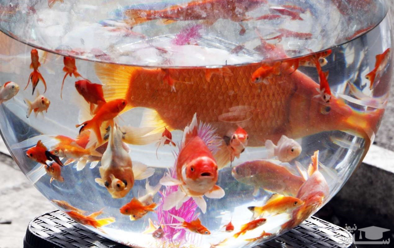 ماجرای ابتلا به کرونا با ماهی قرمز شب عید