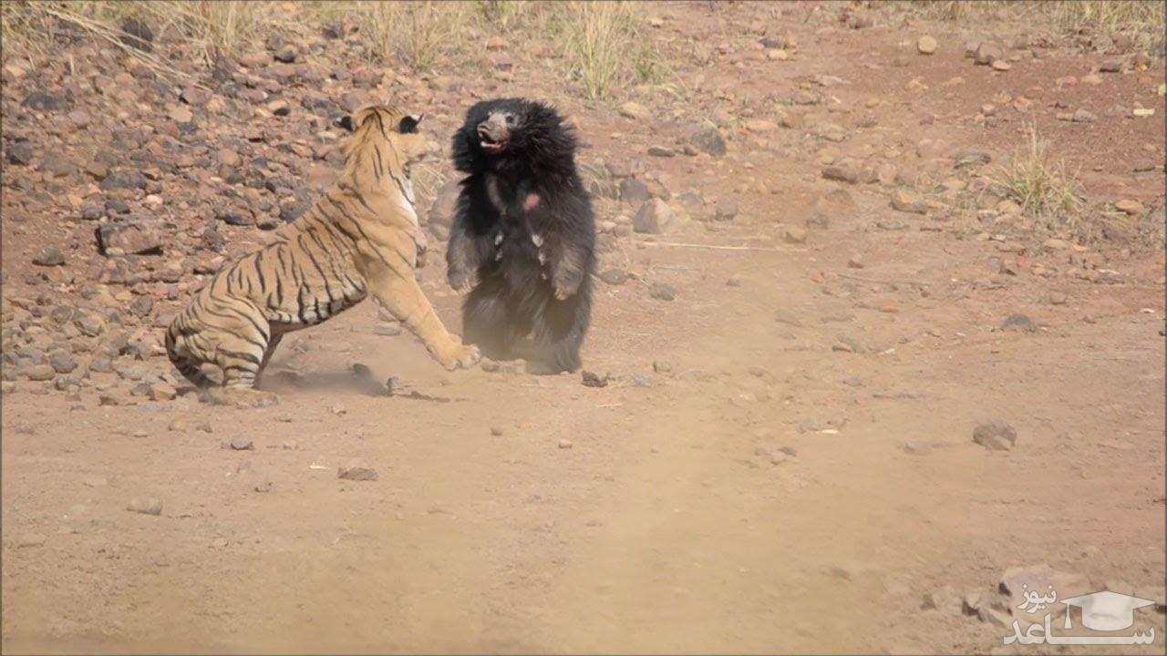 (فیلم) درگیری ببر با خرس آدم کُش