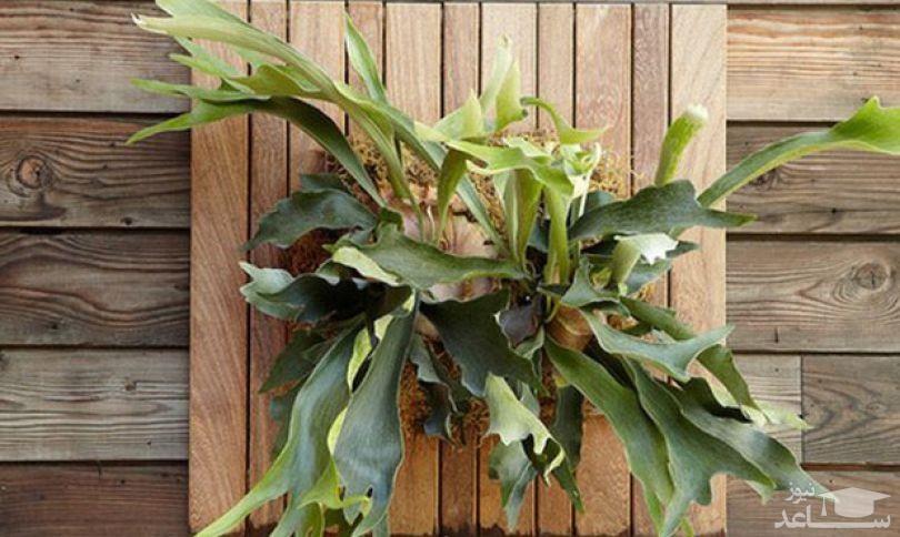 گل سرخس شاخ گوزنی (نگهداری + پرورش)