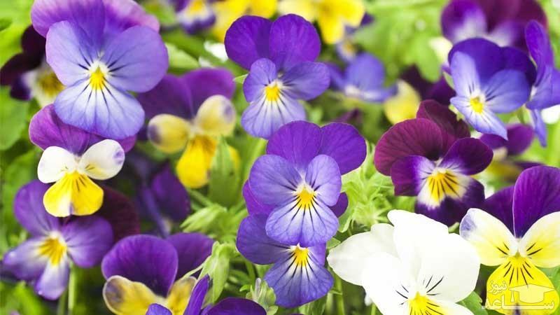 گل بنفشه فرنگی (نگهداری + پرورش)