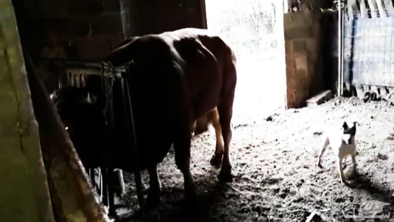 (فیلم) جفتک فراموش نشدنی گاو به صورت سگ