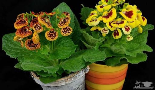 گل گوشواره ای (نگهداری + پرورش)