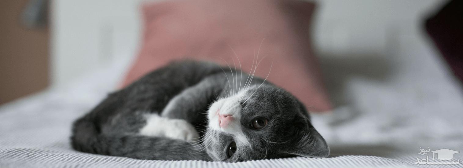بیماریلوسمی یا سرطان خون در گربه