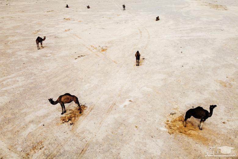 شترها در روستای نیتزانا در جنوب اسراییل/ رویترز