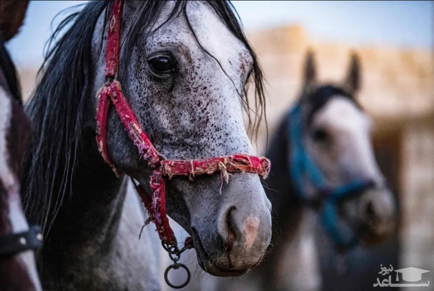 """اسب های اصیل نژاد عرب در """"قامشلی"""" سوریه/ خبرگزاری فرانسه"""