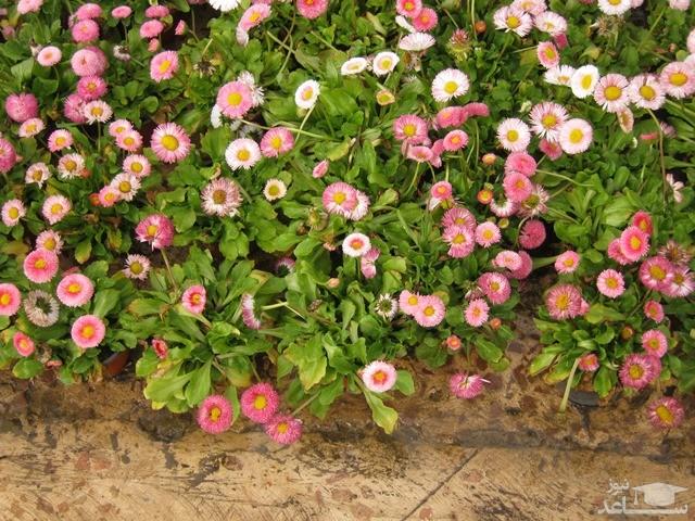 گل مینا چمنی (نگهداری + پرورش)