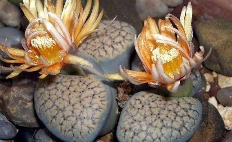 کاکتوس صخره ای (نگهداری + پرورش)