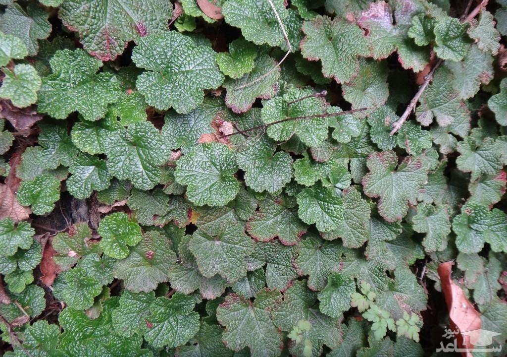 گیاه تمشک زینتی (نگهداری + پرورش)