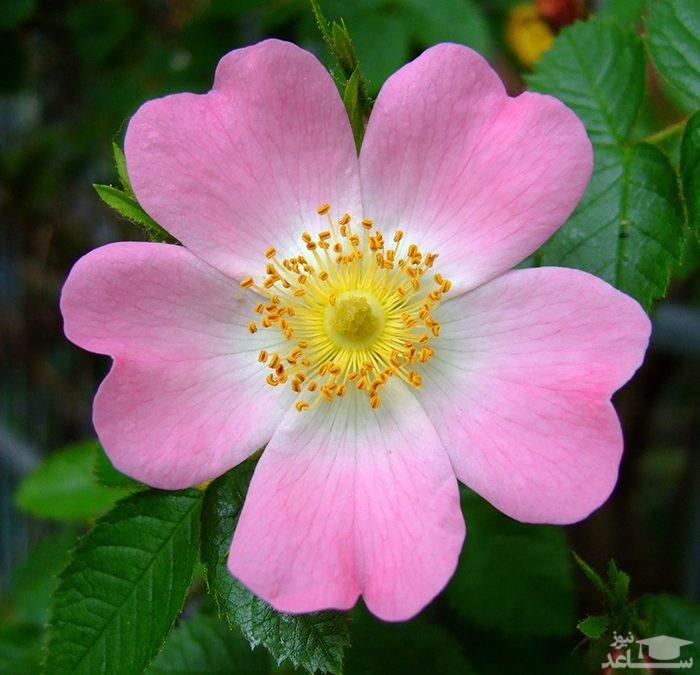 گل نسترن (نگهداری + پرورش)