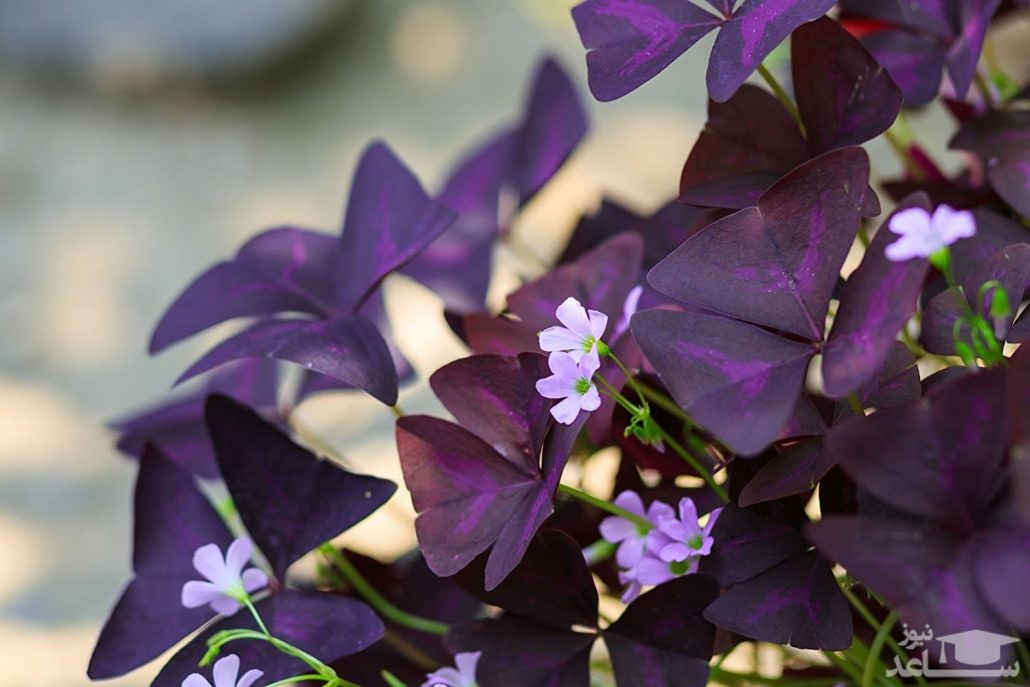 گل اکسالیس (نگهداری + پرورش)