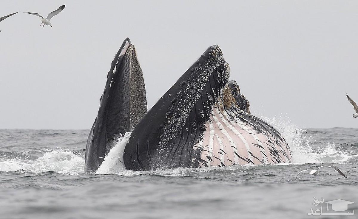 عکسی شگفت انگیز از گرفتار شدن شیر دریایی در دهان نهنگ