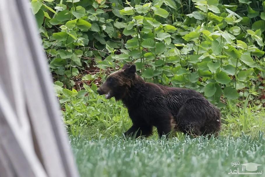خرس قهوا ای